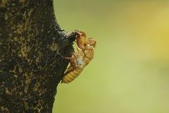 Cikadans hud är på trädet arkivbilder