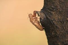 Cikadans hud är på trädet royaltyfri foto