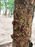 Cikadaruggninghåll på ett träd Royaltyfri Fotografi