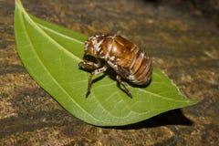 Cikadaträsk på ett blad royaltyfri fotografi