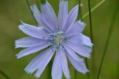 Cikoria Royaltyfria Bilder