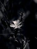 Cikoria i ängen Royaltyfri Foto
