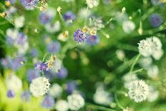 Cikoriablomma i trädgården Arkivbild