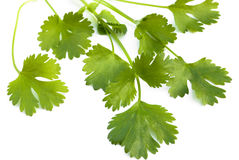 Cilantro Royalty Free Stock Photo