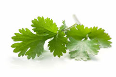 Cilantro. Or coriander leaves, casting natural reflection over white stock photography
