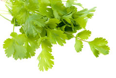 Cilantro Photographie stock
