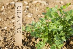 Cilantro. Plant in garden with a wooden marker bearing the name royalty free stock photography