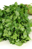 Cilantro. Bunch of fresh cilantro isolated on white stock image