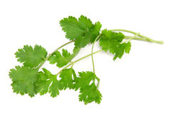 Cilantro. Twig of cilantro on a white background royalty free stock photos
