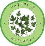cilantro Stock Foto