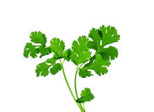 Cilantro. Stems and leaves, isolated on white background stock image