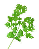 Cilantro. Fresh cilantro coriander branch isolated on white stock image