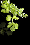 Cilantro on black background. Stock Photography