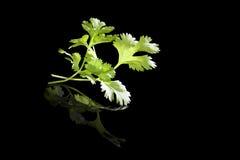 Cilantro on black. royalty free stock photo