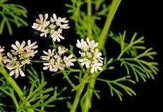 cilantro blommar leaves Royaltyfria Bilder