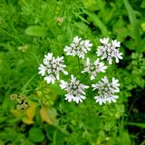 Cilantro blossom. White flower on coriander plant royalty free stock images