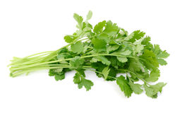 Cilantro bunch Royalty Free Stock Photography