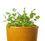 Cilantro In Ceramic Pot Royalty Free Stock Image
