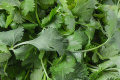 Cilantro Close Up Stock Photography
