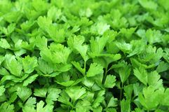 Cilantro. Closeup Coriander (cilantro) trees in garden royalty free stock image