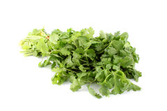 Cilantro or coriander Stock Photos
