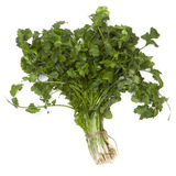 Cilantro or Coriander  Stock Photo