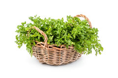 Cilantro (coriander) in a basket Royalty Free Stock Image
