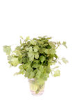 Bunch of Cilantro - Coriander Stock Image