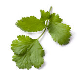 Cilantro or Coriander Isolated Royalty Free Stock Photography