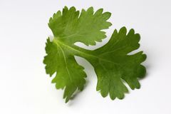 Cilantro Coriander Leaf on a White Surface. Cilantro coriander leaf in a closeup photo taken with macro objective. Photo taken on a white table stock photography