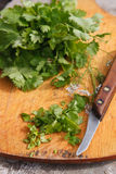 Cilantro. Coriander leaves Royalty Free Stock Photo