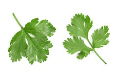Cilantro or coriander leaves isolated on white background. Top view. Flat lay pattern.  royalty free stock photos