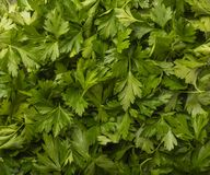 Cilantro de coriandre ou feuilles vertes de persil chinois photographie stock