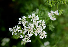 Cilantro Flower Stock Photos