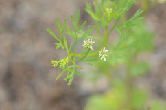 Cilantro flower. Delicate cilantro flower on a plant about to go to seed stock photos