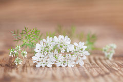 Cilantro flower Royalty Free Stock Images
