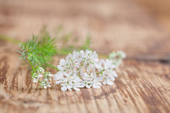 Cilantro flower Stock Image