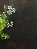 Cilantro Flowers. Cilantro (Coriander) Flowers. Space for Text or Recipe Royalty Free Stock Photography