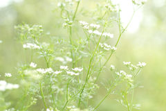 Cilantro flowers. In the field stock images