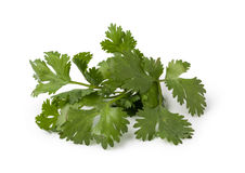 Cilantro. Fresh cilantro isolated on white background stock photography