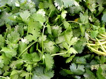 Cilantro. Freshly harvested bunch of cilantro which is often used as a flavorful seasoning in salads and ethnic cuisines Stock Photography