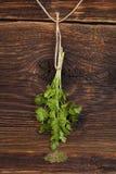 Cilantro herb. Stock Photography
