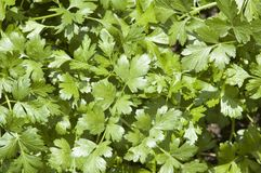 Cilantro Herb Leaves. The leaves of a cilantro herb plant reflecting sunlight Stock Photography