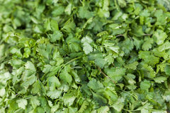 Cilantro leaves stock images