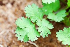 cilantro organicznie Obrazy Royalty Free