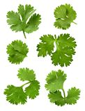 Cilantro (Parsley). Cilantro isolated on a white background. Isolation is on a transparent layer in the PNG format stock image