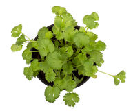 Cilantro plant. Cilantro herb plant isolated on white royalty free stock photography
