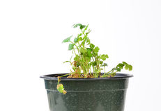 Cilantro in Planter Royalty Free Stock Image