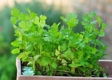 Cilantro in a Pot Royalty Free Stock Photography