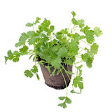 Cilantro in pot isolated Royalty Free Stock Images